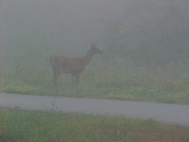 morning deer 1