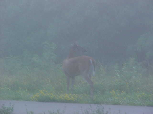 morning deer 2