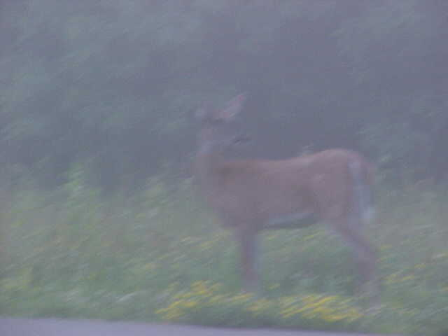 morning deer 3